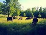 Cows Grazing NE
