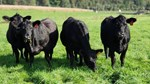 Heifers Grazing